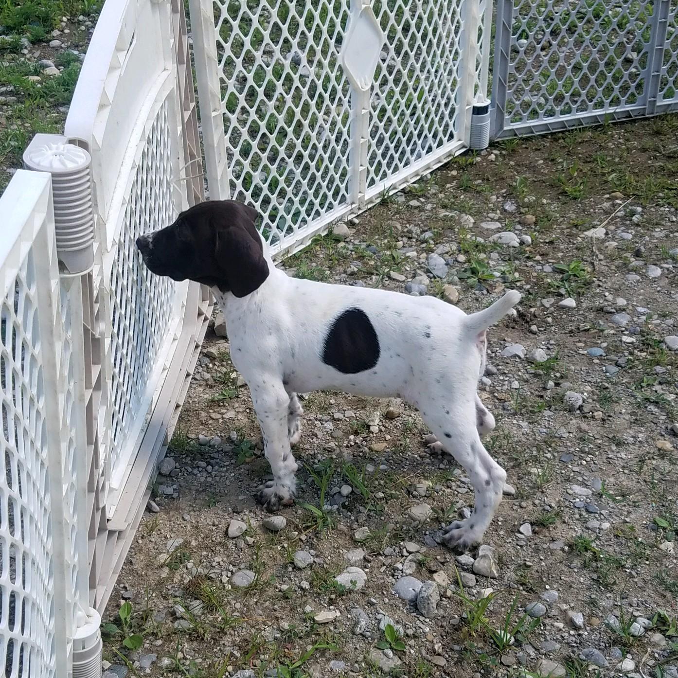Female German Wirehaired Pointer Puppy | Michigan Sportsman - Online ...