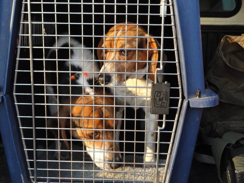 Beagle Brace