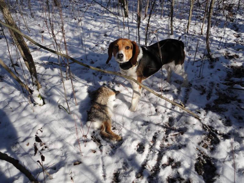 Beagles and Bunnies