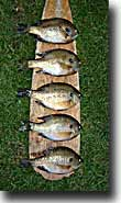 bluegills on oar