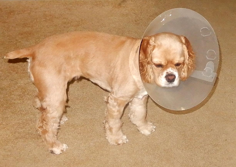 cone of shame Daisy.JPG