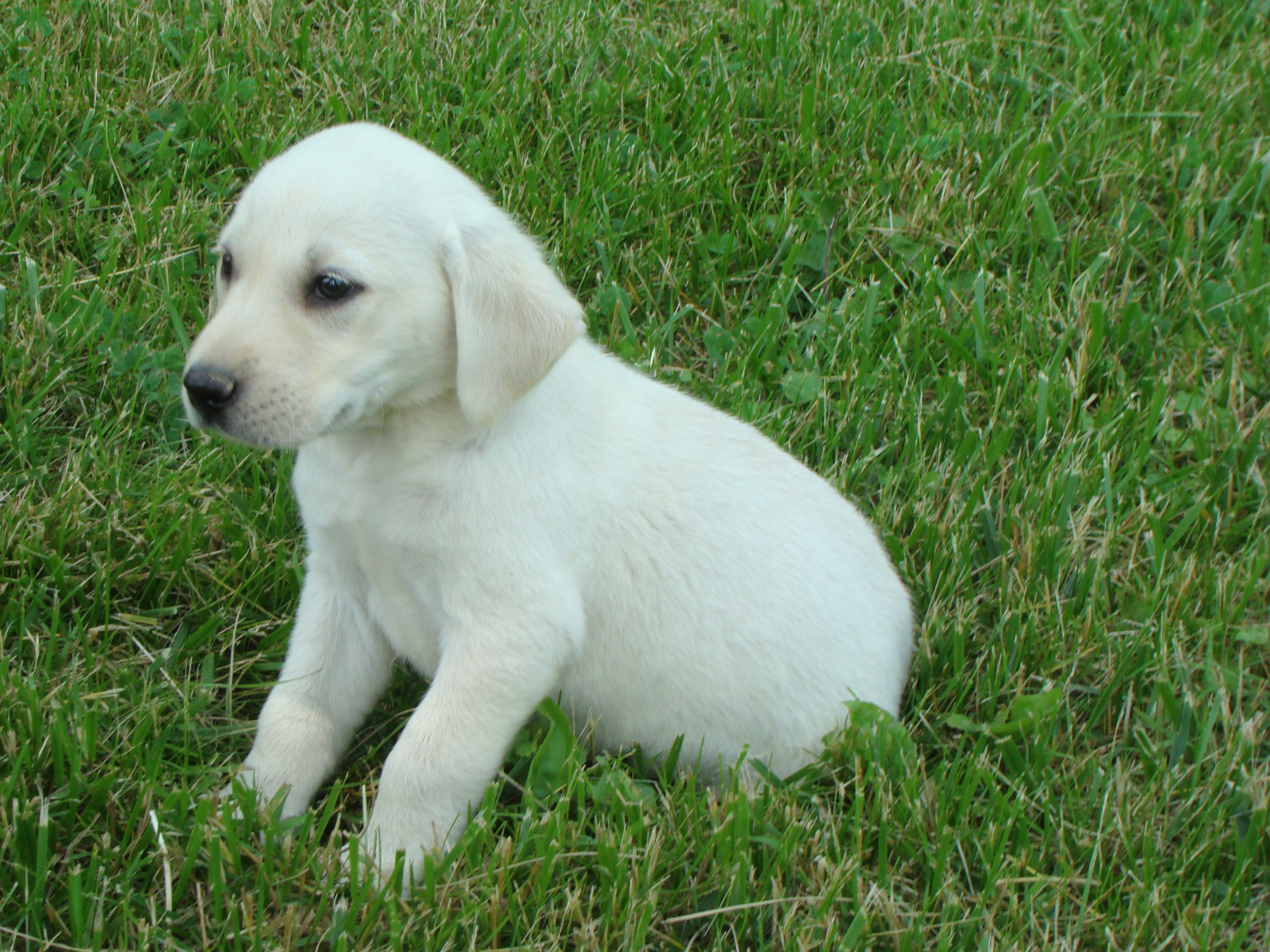 yellow lab puppies in michigan