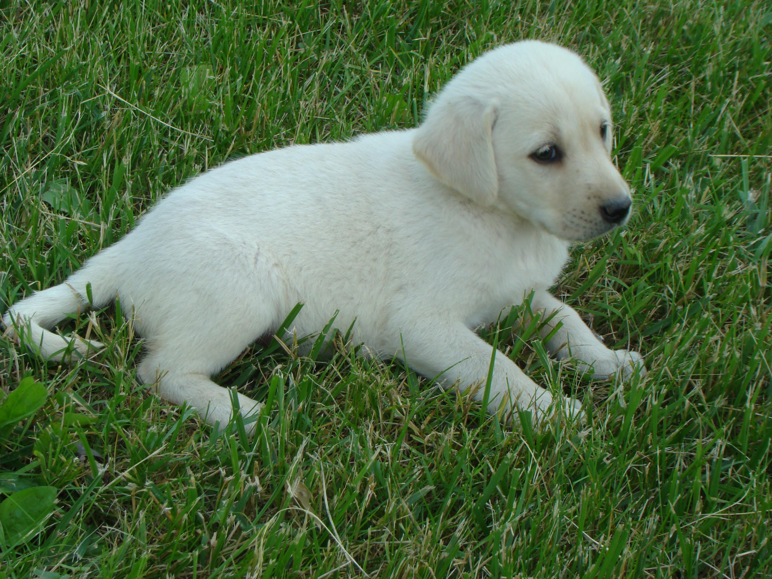 AKC WHITE LAB PUPPIES | Michigan Sportsman - Online Michigan Hunting