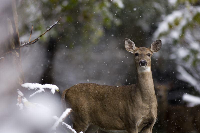 Doe in winter, via DNR