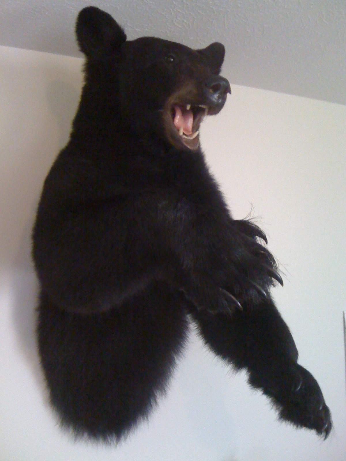 From Belly To Head With Teeth And Claws Coming At You Not A Typical Black Bear Mount But It Turned Out Cool My Young Daughter Wouldn T Come Into