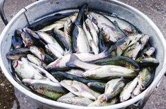 metal-bucket-full-fish-selective-focus-59728683.jpg