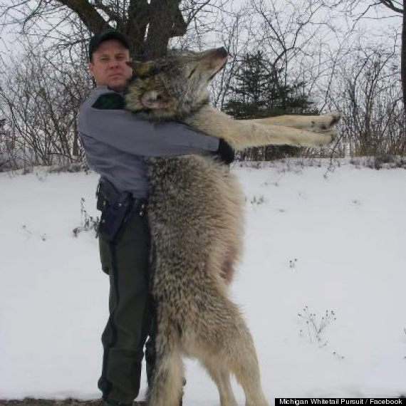 This reportedly healthy wolf weighed around 100 pounds and was killed accidentally by a motorist near Watersmeet, on the western side of Michigan's Upper Peninsula in 2013. Many worry that keeping wolves on the endangered list in the state will lead to more instances like this. Photo Michigan Whitetail Pursuit / Facebook