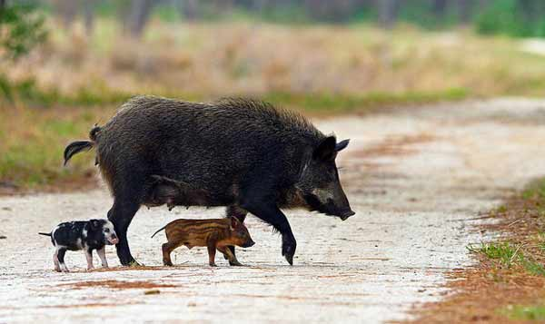 Michigan Feral Pigs