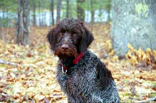 wirehaired pointer