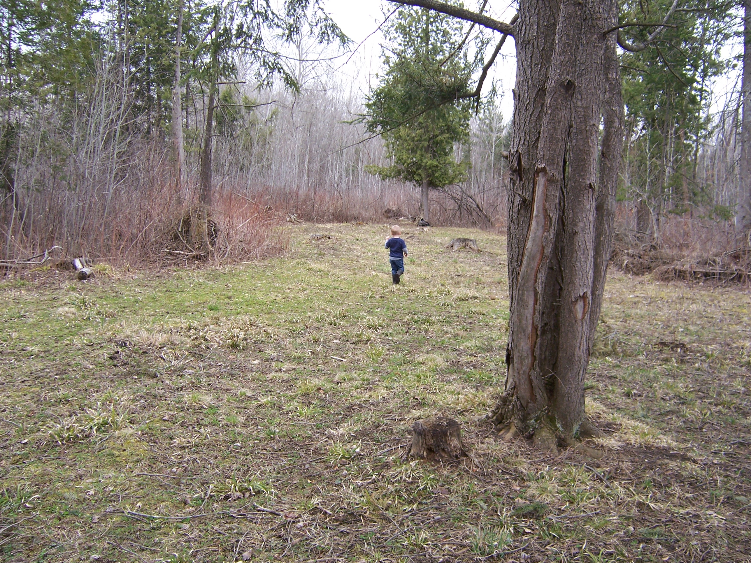My son inspects our small clover plot to see how Dad's frost seeding efforts worked out.