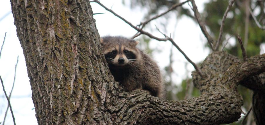 Raccoon by Squash Blossom Farm