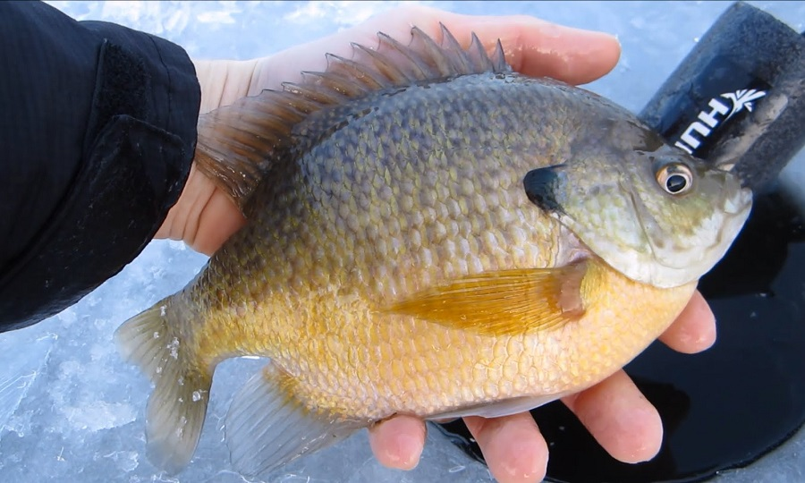 Free fishing weekend february 13th and 14th michigan for Ice fishing bluegill