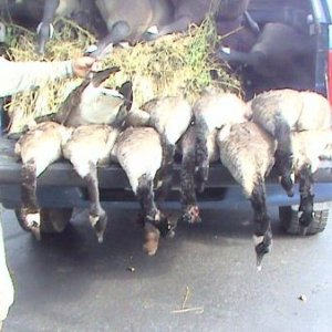 early season honkers