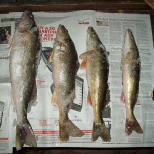 Saginaw Bay, walleyes