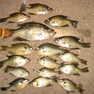fishsticks ! 14 inch crappie and 2 redears -9 inch  and some fish sticks april 20