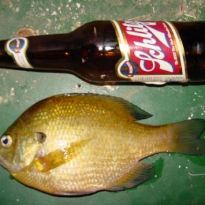 up north june 2010 9.5 inch hamlin gill caught at night on a bass crank bait and a schlitz beer !