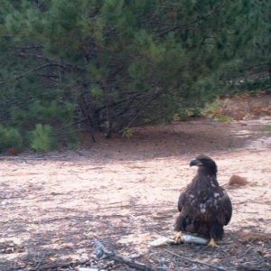 Trailcam surprise.Young Eagle with fish