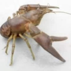 This is a rusty crayfish (Orconectes rusticus) I trapped in the Muskegon River July 2009.    This is an invasive species.