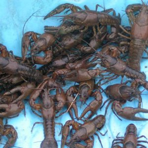 A combination of Northern Crayfish (Orconectes virilus) and Northern Clearwater Crayfish (Orconectes propinquus).