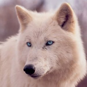 a beautiful wolf