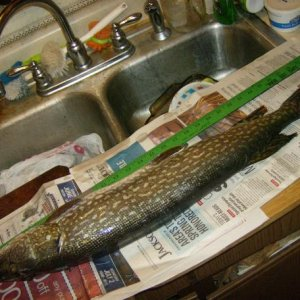 HOUGHTON LK. 30 INCH PIKE  1/2/2015 BIGGER THAN MY SINK
