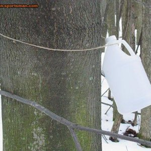 Tapped tree with milk jug