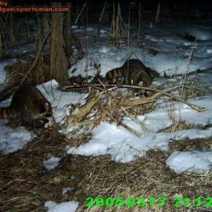 trailcam coons