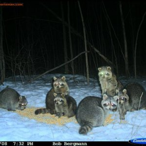 Coons in the Snow!