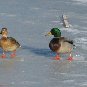 Banded Ducks