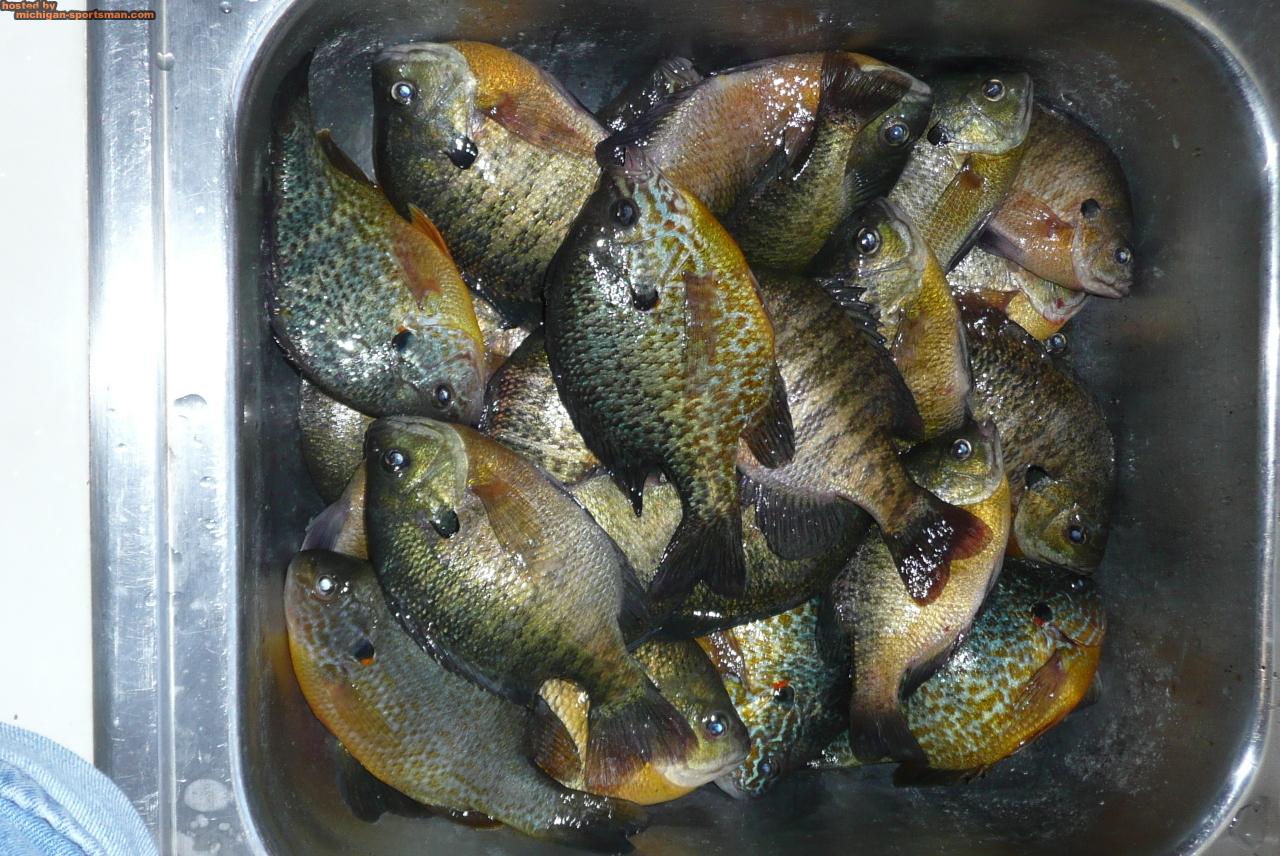 Feb0809011 michigan sportsman online michigan hunting for Michigan fish size limits