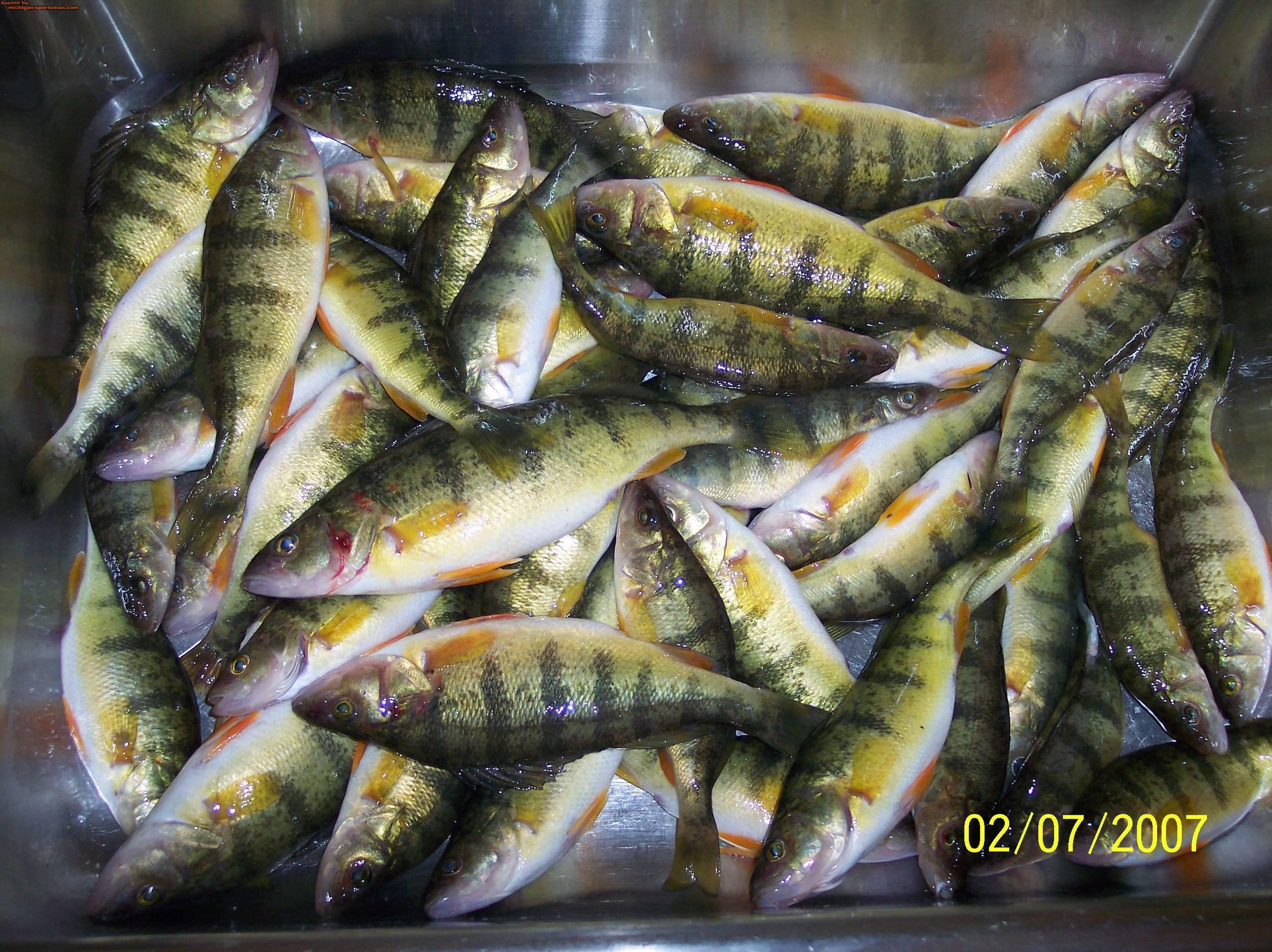 Perch 02072007 001 michigan sportsman online michigan for Michigan fish size limits